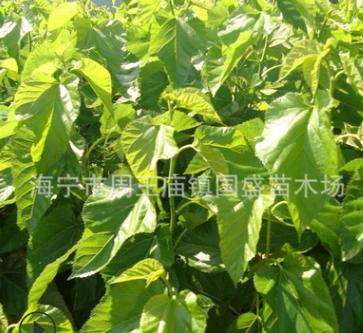 厂家直供高品质农桑批发 14号嫁接桑苗开始订购 基地直销价格优惠