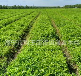 批发桑苗 桑果苗实生桑苗 支持混批桑苗 基地桑苗大批量供应