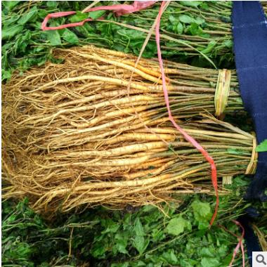 批发桑苗 桑果苗实生桑苗 支持混批紫桑苗 基地桑苗大批量供应