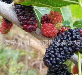 嫁接果桑苗可以供应 品种多 价格优 大10 长果 红果等桑树苗