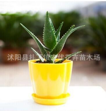芦荟室内多肉观叶植物 防辐射花卉盆栽 桌面小盆栽