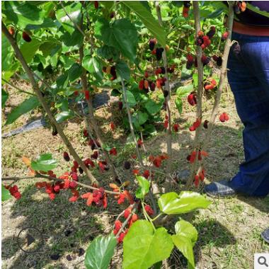 供应果桑苗 无籽大10红果桑苗 台湾四季果桑长果桑树苗 大量批发