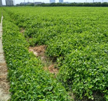 小桑苗杂交桑实生桑苗优惠供应 专供各种桑苗 果桑台湾四季桑苗