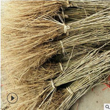 桑种苗优质桂桑 杂交桑苗量大从优 桑椹树苗 桑果桑葚树苗