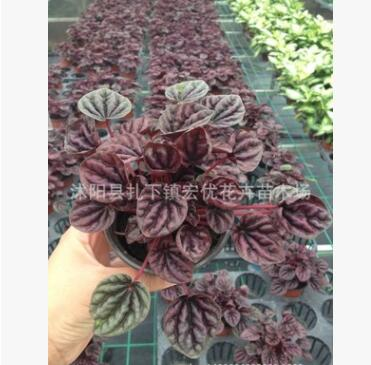 批发桌面盆栽 彩色植物 红宝石盆栽 水培