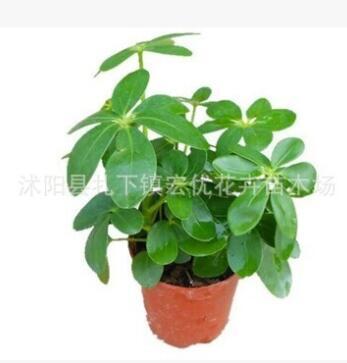 批发四季常青 鸭掌木 鸭脚木 盆栽花卉植物