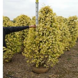 常绿灌丛绿篱黄金垂榕 规格多种 品种齐全 基地批发绿化工程袋苗
