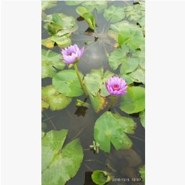 水生植物基地直销盆栽睡莲
