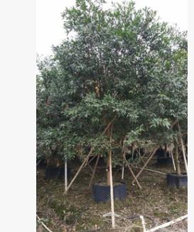 基地直销低分枝水蒲桃 大型观叶易种植丛生水蒲桃专车发货