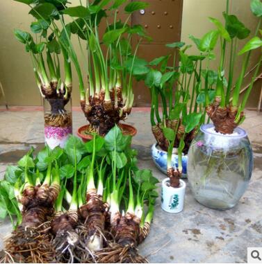室内非常容易花卉合果芋滴水水培植物盆栽非常容易竹富贵竹龟
