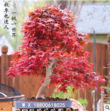 红枫无庭院红枫红舞姬苗日本别墅绿化苗美国红枫无落叶红枫苗