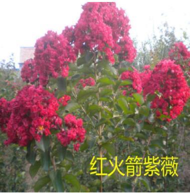 庭院观花火箭类紫薇海棠南方红乔木垂丝树苗四季夏季其它带花