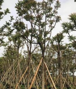 中山花木基地供应 麻楝 多种规格 袋苗