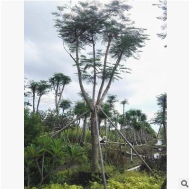 中山苗木基地供应 凤凰木 多种规格 袋苗