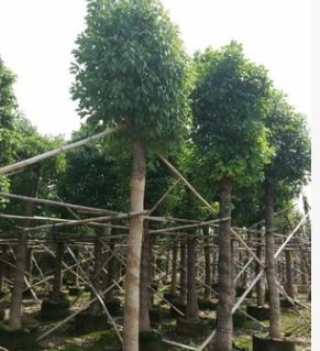 樟树 袋苗 市政绿化苗木 中山花木基地