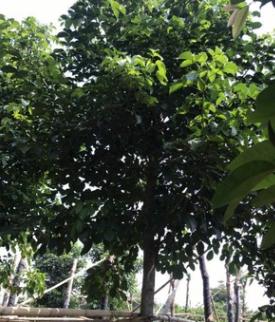 中山苗木基地供应 秋枫 袋苗 多种规格