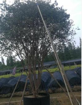 嘉宝果 高400-500厘米 假植苗 庭院苗木 中山苗木基地