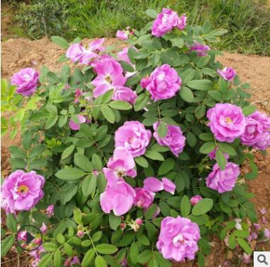 云南基地供应玫瑰苗 食用玫瑰花苗 扦插绿化工程月季种苗量大从优