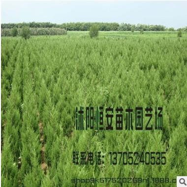 苗木场大量批发供应塔松 蜀桧 塔柏绿化 量大优惠 品种规格齐全
