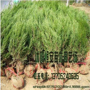 大量供应批发塔松 塔柏绿化 量大价格可优惠 品种规格齐全