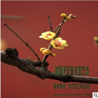 苗圃直销批发腊梅树 花灌木 种类规格齐全 量大价优