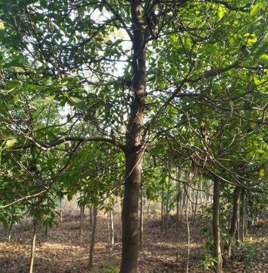 江西木荷供应优质木荷苗