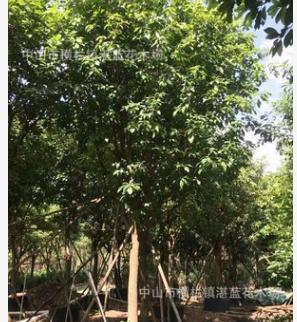 玉蕊 多花 植物 常绿 大乔木 屋前 门口 绿化 园林工程