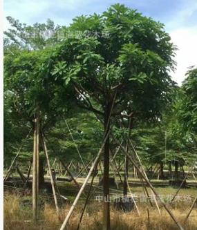 玉蕊树10-11公分袋苗 基地直销 2018年苗木最新报价
