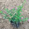 紫花雪茄花是四季开花的易种植小盆栽 基地批发萼距花带土球发货
