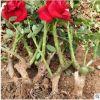 基地直供 优质月季大苗 2-3年生老桩苗 成活高庭院盆栽绿化工