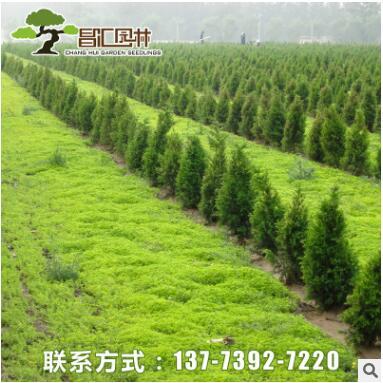 多规格绿化工程树苗大量批发桧柏 塔桧 蜀桧小苗 四季常青易种植