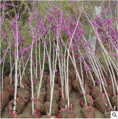 基地工程绿化树苗紫荆树苗 规格齐易种植丛生紫荆 满条红