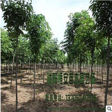 苗圃直销批发七叶树 绿化工程 规格全 红花七叶树 行道风景树