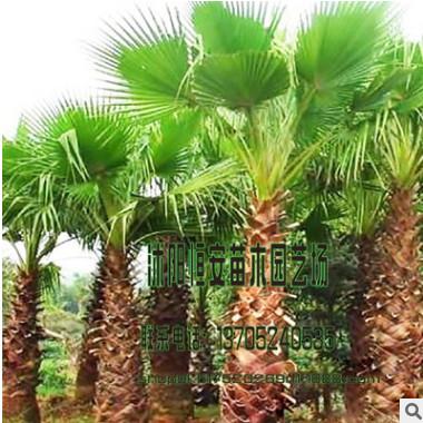棕榈树量大价优苗圃直销绿化工程 棕榈树行道树 品种规格齐全