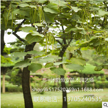 苗圃直销楸树苗 喜光耐寒 楸树苗工程绿化苗木 规格齐全量大优惠