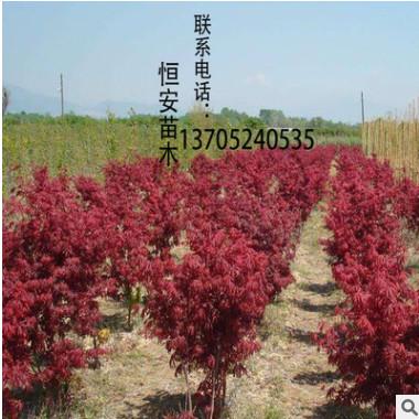 日本红枫树 基地直销 绿化工程 风景树 规格齐全 量大价优
