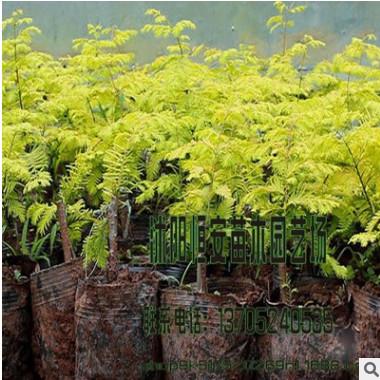苗圃直销批发水杉树 金叶水杉 绿化工程行道树 规格品种齐全