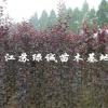 江苏速生紫叶李基地 速生红叶李小苗价格