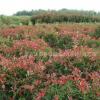 红叶石楠球基地直销价格,独干石楠供应基地