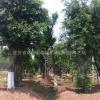 江苏朴树,榉树,苗木哪里*便宜?
