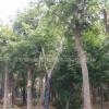 江苏乌桕,朴树,榆树,米径20--40cm大规格苗木供应基地