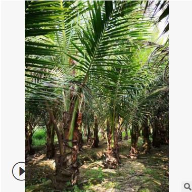 热带植物行道树海南椰子树广东苗木基地直销