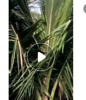 海南椰子树高度3-4米假植苗湿地绿化热带植物防护树
