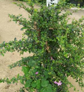 园林绿化工程苗木福建茶 基地直销常绿植物猫仔树