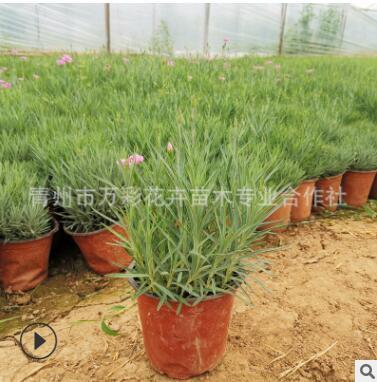 欧石竹 盆栽苗 多季开花多年生地被植物 草坪绿化 耐寒耐热易成活