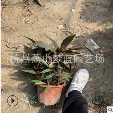 红朱焦 朱蕉 冠幅30-50 高度30-50 精品 优质苗 道路工程 绿化用