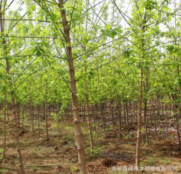 河南复叶槭/青竹复叶槭