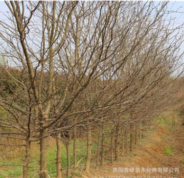 河南皂荚树/皂角树
