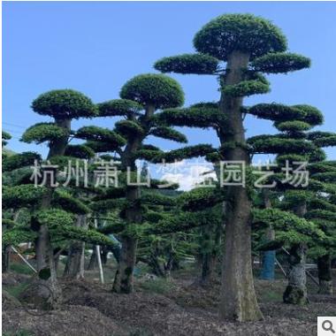 榆树桩 精品 造型 绿化 工程 庭院 花卉 萧山 苗木 苗圃 直销