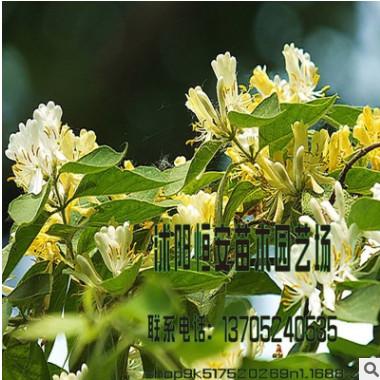 大量供应批发金银木 丛生 球状 花灌木 工程庭院绿化 品种齐全